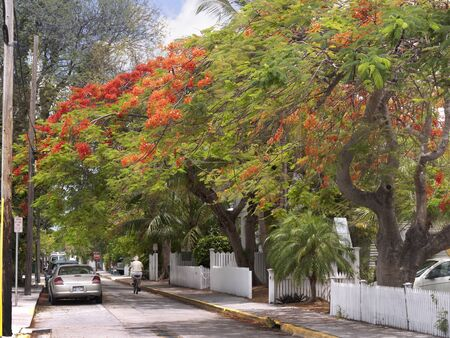 Royal Poinciana Tree in Key West in the Florida Keys in the State of Florida USA