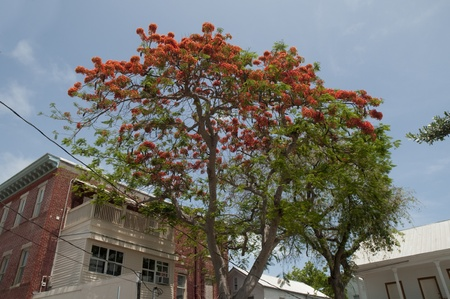 Royal Poinciana Tree in Key West in the Florida Keys in the State of Florida USA photo