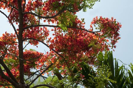 hemingway: Royal Poinciana Tree in Key West in the Florida Keys in the State of Florida USA Stock Photo