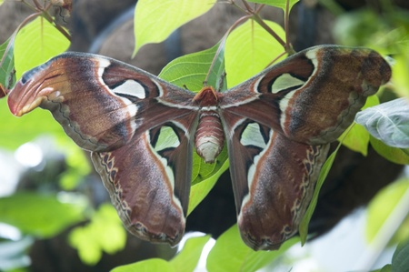 Larges Butterfly i the World the Atlas Moth in Key West Florida USA photo