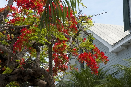 north american butterflies: Royal Poinciana Tree in Key West in the Florida Keys in the State of Florida USA Stock Photo