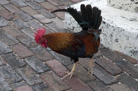 Free roaming chicken in Key West in the Florida Keys in the State of Florida USA photo