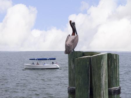 no pase: Pel�canos en San Petersburgo, Florida, EE.UU.