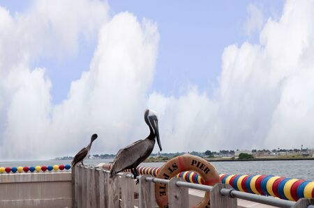 Pelicans at St Petersburg Florida USA photo