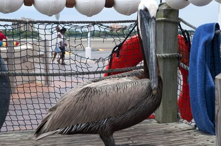Pelicans at St Petersburg Florida USA photo