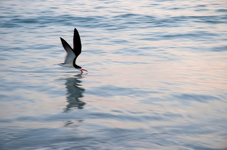 Frigate Bird at St Petes Beach in the Setting Sun in Florida USA photo