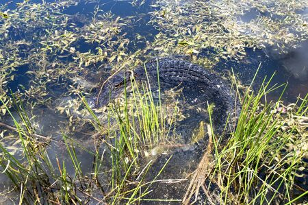 Alligator in the Everglades  in the Southern State of Florida in the USA Stock Photo - 11564091