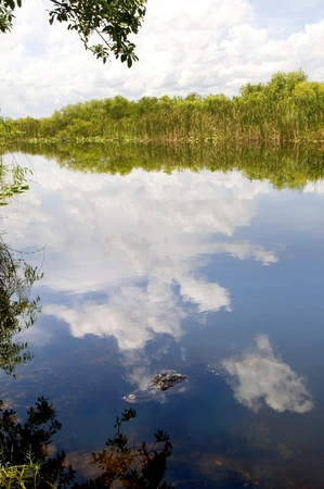 Alligator in the Everglades  in the Southern State of Florida in the USA