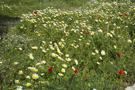 rethymno: Wild Flowers on the island of Crete in Greece Stock Photo