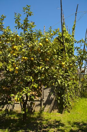 sant agata: Lemon Grove in the Centre of Sorrento Campania Italy