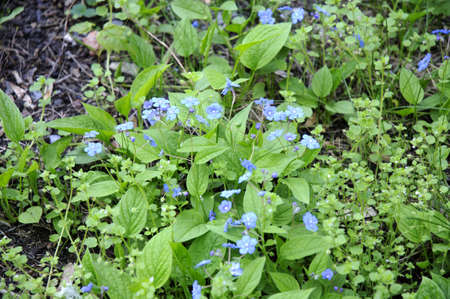 forget me nots in the Jewish Cemetery in prague Czech Republic photo