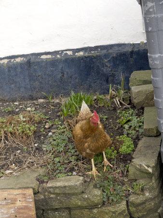 wensleydale: Gallina en el pueblo de Yorkshire Dales Hawes en Inglaterra Editorial