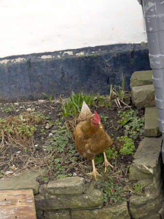 wensleydale: Hen in the village of Hawes in Yorkshire Dales England