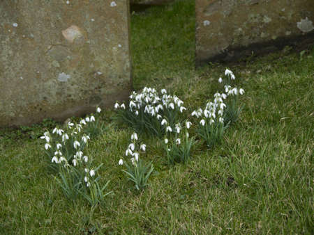 Snowdrops in St Margarets Churchyard in the Village of Hawes in the Yorkshire Dales England