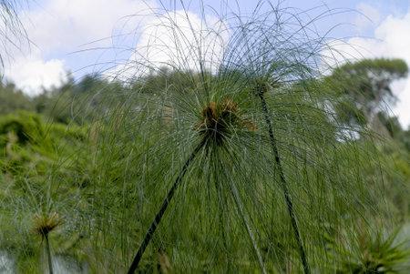 marqueteria: Papyrus planta en el jardín tropical sorprendentes de la isla volcánica de Ischia, en la bahía de Nápoles Ital
