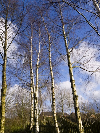 copse: Copse of Birch Trees in Burnley Lancashire England