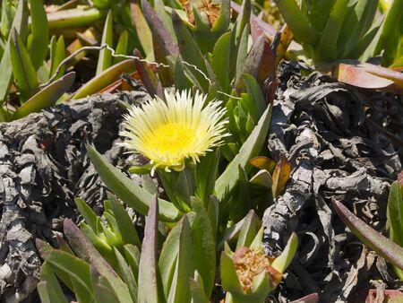 Wild Flowers in May on the Island of Santorini Greece Stock Photo - 13820280