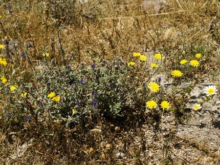 Wild Flowers in May on the Island of Santorini Greece photo