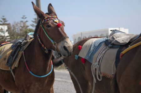 eacute: Famous Donkeys of Fira Santorini Greece Stock Photo