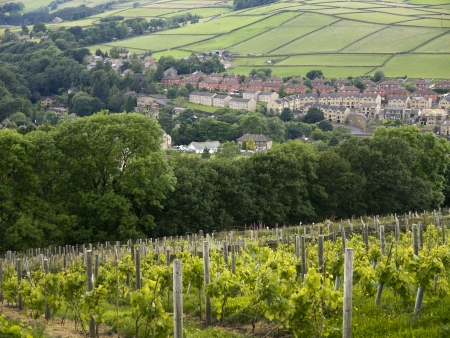 Vineyard in Holmfirth, the Last of the Summer Wine Country in Yorkshire England Stock Photo