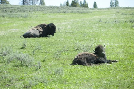 Buffalo near Cody Wyoming USA photo