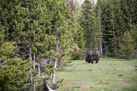 Grizzly bear in Yellowstone National Park USA photo