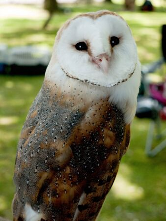 rescued: Rescued Barn Owl at Community Event in Burnley England