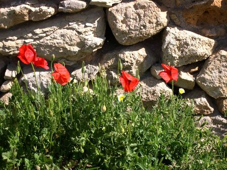 Poppies at Easter on the Island of Crete Greece Stock Photo - 14702074