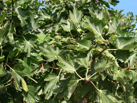 Fig Tree at Nerja Andalucia Spain Stock Photo - 14859943