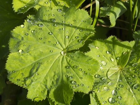 alchemilla mollis: Alchemilla Mollis after rain Stock Photo