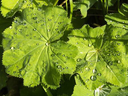 mollis: Alchemilla Mollis after rain Stock Photo
