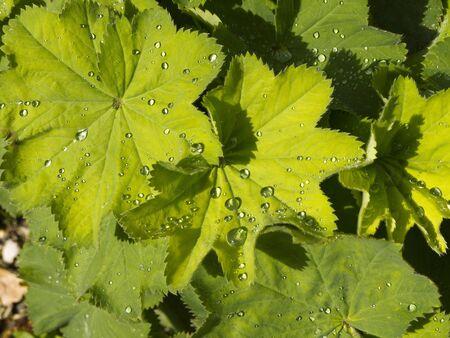 alchemilla: Alchemilla Mollis dopo la pioggia Archivio Fotografico