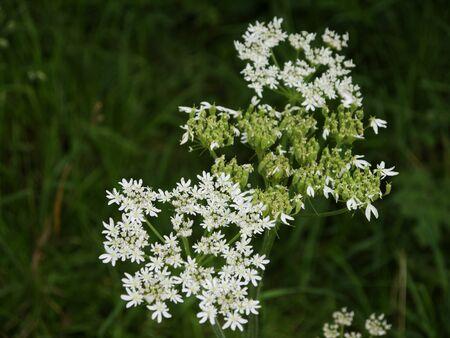 hemlock: Hemlock flores en Skipton North Yorkshire