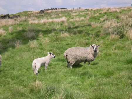 burnley: Sheep and lamb on moors above Burnley in Lancashire Stock Photo