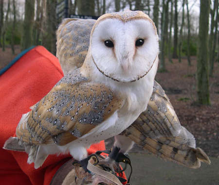 rescued:    Rescued Barn Owls in Burnley in Lancashire, England