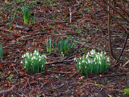burnley: Snowdrops at Towneley Hall in Burnley Lancashire England                Stock Photo