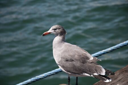 Young Seagull in San Diego California USA photo