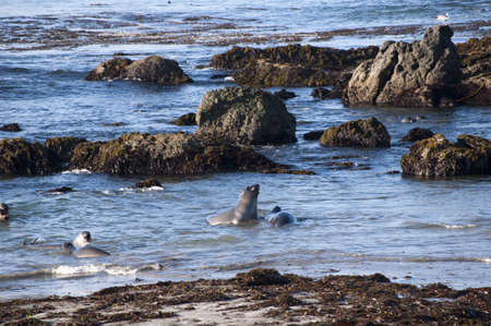 Elephant seals on beach on the Pacific Coast of California USA