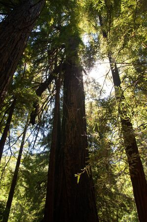 Giant Redwood Tree Forest on the Big Sur in California USA photo