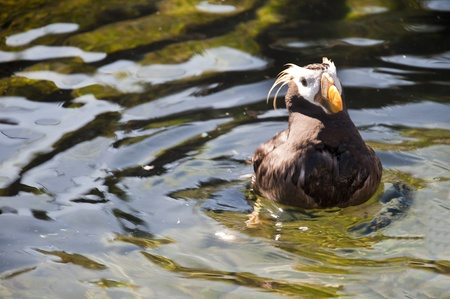 Tufted puffin in the Oregon Coast Aquarium at Newport Oregon Stock Photo - 16694665