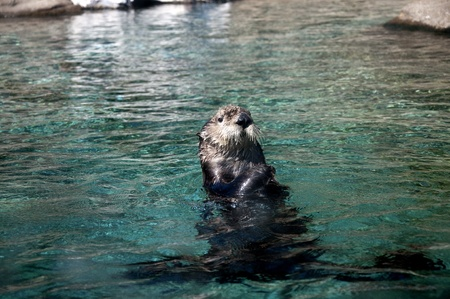 Sea otter in the Oregon Coast Aquarium at Newport Oregon Stock Photo - 16694648