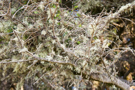 helens: Spanish Moss on trees in Wetland at the Mount St Helens Visitor Centre Washington USA Stock Photo