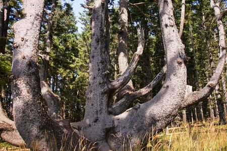 capes: Octopus Tree in Pine Forest on the Oregon Coast USA