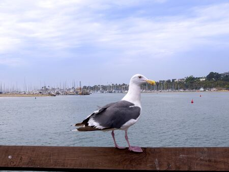 Seagull on Pier at Santa Barbara California USA photo