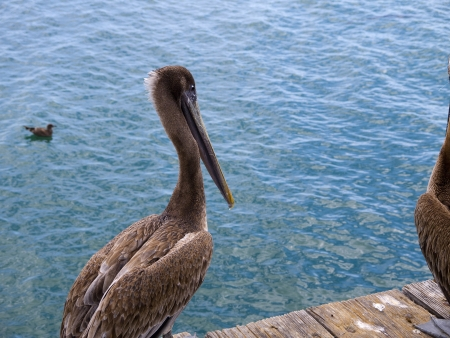 Pelican on the Pier at Santa Barbara California USA photo