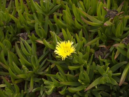 santa barbara: mesembryanthemum in Santa Barbara California