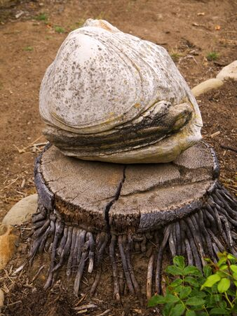 Giant Fossil Clam in the Garden of the Spanish Mission at Santa Barbara California USA photo