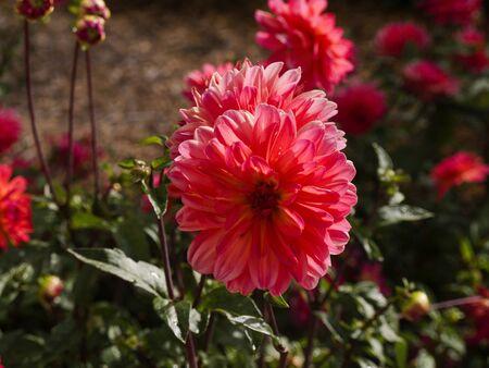 brenda kean: Dahlias in Garden on the Big Sur Coast of California Stock Photo