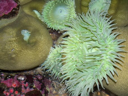 sea anemones in the Oregon Coast Aquarium at Newport Oregon Stock Photo - 17172310
