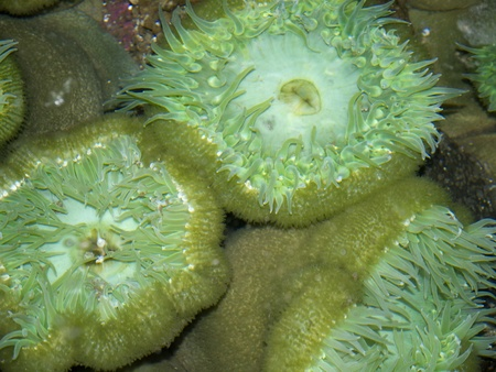 sea anemones in the Oregon Coast Aquarium at Newport Oregon Stock Photo - 17172307